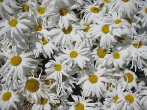 Gardens, Erdigg, Summer, Daisies, Flowers